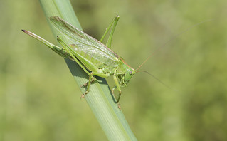 Great Green Bush-cricket  (Tettigonia viridissima).