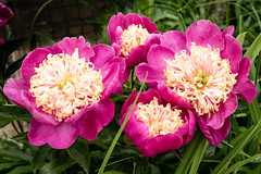 Garden Flowers 7-6-18. (Anthony P Morris) Tags: garden mygarden gardenflowers flowers anthonypmorris farmoor oxford oxfordshirecumnorenglandunitedkingdomgb