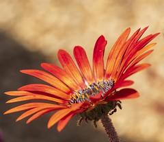 Orange daisy with ant. (Emma GB) Tags: orange daisy ant 60mm28 flowers olympus macro