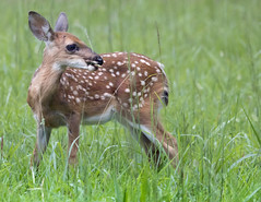 White tail deer -  Yorktown Virginia (watts_photos) Tags: white tail deer yorktown virginia nature wildlife wild life fawn cute young grass field whitetail spots