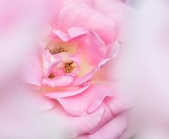 Selective Macro. (Omygodtom) Tags: tamron90mm macro bokeh dof 7dwf outside flower flickriver dream contrast selectivefocus flora fuzzy fauna