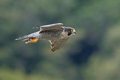 Peregrine Falcon (cliveyjones) Tags: peregrinefalcon peregrine tercel tiercel
