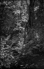 deep woods, flickering light, trail to Fort Point, Saint George, Maine, Leica C1, early August 2018 (steve aimone) Tags: woods forest light flickering trail fortpoint saintgeorge maine leicac1 35mm 35mmfilm film compactcamera pointandshoot blackandwhite monochrome monochromatic landscape