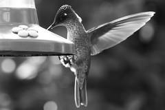 Picaflor chico (Sephanoides Sephanoides). (Andres Bertens) Tags: 1552 olympusem10markii olympusm40150mmf4056r rawtherapee hummingbird picaflor sephanoidessephanoides bokeh