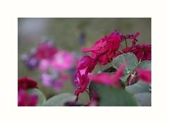 2018-07-31_12-19-15 (danielafosci) Tags: nature naturelove bestflowers fiori garden canon photographi green colorful