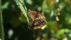 Gatekeepers (Nick:Wood) Tags: nature wildlife butterfly insect mating sex grandunioncanal towpath gatekeeper pyroniatithonus