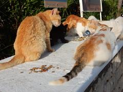 Feeding Cats (deltrems) Tags: greek greece hellas island rhodes rodos pefki pefkoi pefkos mediterranean med animal cat puss pussy pussycat feral feeding station area