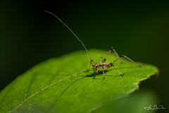 Pour devenir grand, apprends à regarder...! - To become big, learn to look ...! (minelflojor) Tags: sauterelle antennes pattes feuille nervures yeux nature flou bokeh macro insecte petit grasshopper antennae paws leaf ribs eyes blur insect small tamronsp90mmf28dimacro11vcusd