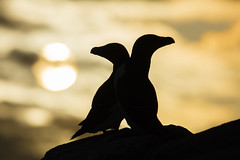 Razorbills at Sunset (Daniel Trim) Tags: alca torda razorbill with prey ireland saltee great islands sea bird seabird colony nature wildlife animals photography silhouette sunset