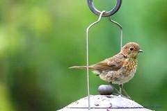 Top Of The World Ma, Top Of The World!.... (law_keven) Tags: robins robin birds avian catford london england gardenbirds fledglingrobin wildlife wildlifephotography photography