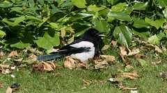 Sunbathing magpie, West Park (Dave_A_2007) Tags: corvidae picapica bird crow magpie nature wildlife wolverhampton westmidlands england