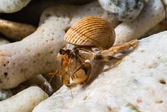 Hermit Crab (dmunro100) Tags: crab hermit christmasisland indianocean