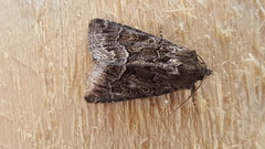 20180804_102557 (Paul Young1) Tags: darkarches apameamonoglypha noctuidae apameini 1 one single moth moths animal animals insect insects insecta arthropod arthropods arthropoda lepidoptera nature wild wildlife uk british britain perched perching close study imago unitedkingdom closeup top topview closedwings