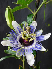 Passiflora x colvillii Sweet. (Passiflorae) Tags: fragrant passiflora hybrid hardy 1824 white blue mauve purple maracuja