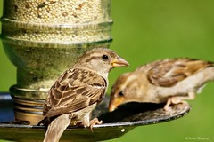 Young House Sparrows (Anne Ahearne) Tags: wild bird feeder nature wildlife animal feeding juvenile juvenille birds eating cute sparrow house songbird birdwatching