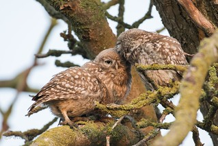 Little Owlets (Athene noctua) - East Sussex