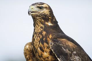 Grey Buzzard Eagle (explored)