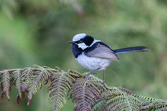 Superb Fairywren (Alan Gutsell) Tags: superb fairywren superbfairywren fairy wren lamingtonnationalpark nature photo wildlife australian birds alan nationalpark