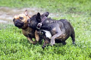 Pug/bulldog at Trinity-Bellwoods Park #8