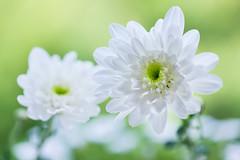 chrysanthemum 3322 (junjiaoyama) Tags: japan flower plant chrysanthemum mum white summer macro bokeh