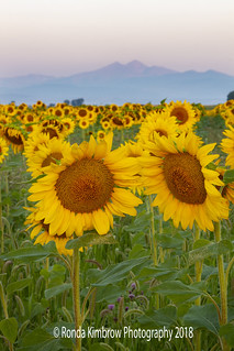 Mountains and Sunflowers