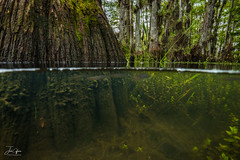 Everglades Underwater (J.Coffman Photography) Tags: over underwater water everglades dome fish aquatech season wet preserve state fl sunshine wilderness hiking hike d810 nikon clouds marsh forest states united florida big cypress national park landscape trees swamp reflections
