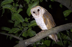 Barn owl (Tyto alba) (Biswajit Ghosh'76) Tags: ngc bbc owl barnowl india indianbird