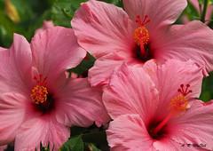 Pink Hibiscuses - Ka'anapali, Maui (Barra1man (Busy in the Garden)) Tags: pinkhibiscuses pink hibiscus hibiscuses tropical tropicalflower garden nature kaanapali maui hawaii unitedstates olympus olympusem1 lens300mm iso800 f5615000