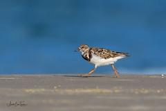 Ruddy Turnstone (Asa-Photography) Tags: bird nikon d500 200500mm beach blue abbey road beatles