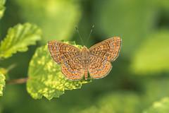 Calephelis sp (fabriciodo2) Tags: calephelissp papillon macro sigma150 nature butterfly chichenitza