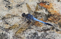 Dragonfly 030 (DMT@YLOR) Tags: dragonfly rock blue nerimagardens ipswich queensland australia aussie nature crisp clear sharp rust wings