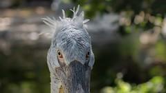 Good Morning Starshine....🎼 (Toledo 22) Tags: makeup animal tier pelikane natur fauna nature pelican closeup portrait porträt bird vogel pelikan