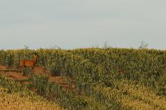 Roe Buck In The Wheat (Derbyshire Harrier) Tags: roedeer buck male 2018 august rut wheat crop field rspb bempton bemptoncliffs eastyorkshire summer roebuck native capreoluscapreolus arable springwheat