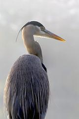 Heres looking at you (John's Love of Nature) Tags: greatblueheron ardeaherodias johnkelley johnsloveofnature