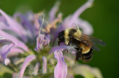 Rusty Patched Bumble Bee (U.S. Fish and Wildlife Service - Midwest Region) Tags: endangered endangeredspecies pollinator insect bee animal wildlife nature bergamot flower plant native
