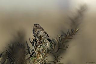 Juvenile Common Stonechat