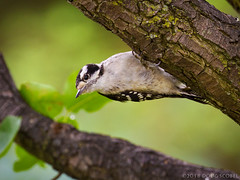 Just Hanging Around (Doug Scobel) Tags: downy woodpecker picoides pubescens