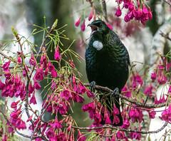 Tui (Kiwi-Steve) Tags: tui bird nz newzealand tauranga nature nikon nikond7200 cherryblossom singing ngc