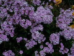 P7300912 (Copy) (pandjt) Tags: binghamtonny binghamton ny travelogue cutlerbotanicgarden garden scenicgarden cutlergarden botanicgarden blueboygardenphlox phlox