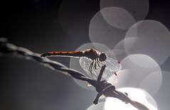 20180806-1906-11 (Don Oppedijk) Tags: vogelenzang noordholland nederland nl amsterdamsewaterleidingduinen awd cffaa dragonfly libelle