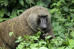 Papio anubis ♂ (Olive Baboon) - Kibale, Uganda (Nick Dean1) Tags: papioanubis olivebaboon baboon primate monkey kibalenationalpark kibale uganda