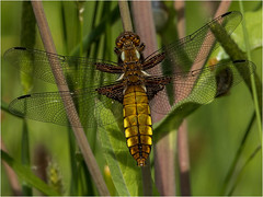 Broad Bodied Chaser (Paul West ( pwest.me )) Tags: dragonfly dragon preston brockholes nature naturelovers wildlife wildlifepics macro wildlifepictures wildlifephotographer wildlifephotography naturephotography naturepictures naturephotographer birdphotography wildlifephoto animal naturephotoportal poultonphotosoc photography wildlifeplanet intothewild wildlifeperfection naturephoto naturepics naturepic followme naturecollection natureseekers