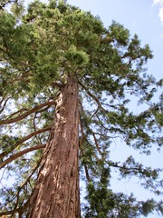 A TreeMendous Tree for Tuesday (pefkosmad) Tags: tree up trunk pine treemendoustuesday stpeterschurch rendcomb uk england gloucestershire branches nature