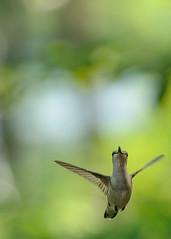 Hummingbird in flight (Richard Wintle) Tags: bird hummingbird rubythroated flying flight archilochuscolubris cottage nature wildlife ontario canada southfrontenac desertlake