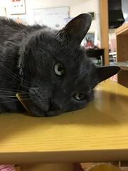 Drowsy Yuba (sjrankin) Tags: 12august2018 edited animal cat yuba closeup table livingroom kitahiroshima hokkaido japan