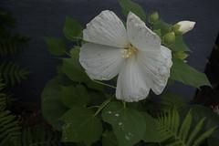 jdy211XX20180730a5289Bias-0.3 stops.jpg (rachelgreenbelt) Tags: ghigreenbelthomesinc ordermalvales familymalvaceae eudicots greenbelt northamerica midatlanticregion hibiscusgenus rosids hibiscusblueriverii2017whitenearligularia usa maryland americas ouryard magnoliophyta annualmallows floweringplants hibiscusblueriverii malvaceae malvaceaefamily malvales malvalesorder oneplant rosemallows royalmallows singleplantportrait spermatophytes treemallows