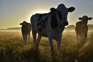 Kühe zu zählen; Bergenhusen, Stapelholm (34)