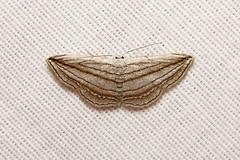 Geometridae, Scopula opicata - Kibale Uganda (Nick Dean1) Tags: animalia arthropoda arthropod hexapoda hexapod insect insecta lepidoptera moth geometridae scopula scopulaopicata kibale kibalenationalpark uganda