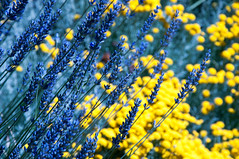 Lavander & Yellow (Sk-Charlie) Tags: flor flowers bariloche botany botánica amarillo yellow lavanda lavander