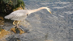 10 - Aug 11, 2018 - heron dives for a snack (kazuhikogriffin) Tags: heron
